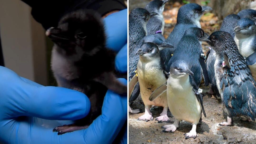 Najmniejsze pingwiny świata
