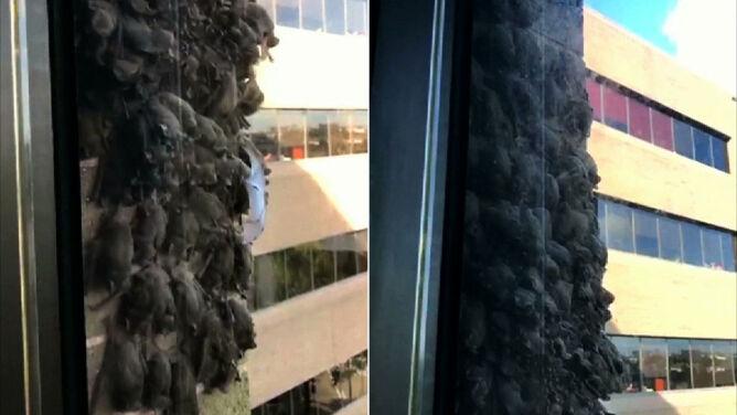 Chmara nietoperzy osiadła na biurowcu