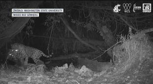 Rzadkie nagranie pokazujące atak jaguara na ocelota