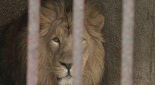 Lwy zabijają około 100 osób rocznie